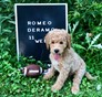Romeo Mini Goldendoodle puppy