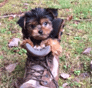Little Meyer ( Harley) Yorkshire Terrier puppy