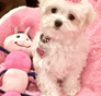 Lexi (was Diamond) Maltese puppy