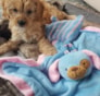 StellaDonatella Marie Madison Cavapoo puppy
