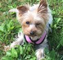 Princess Bella Yorkshire Terrier puppy
