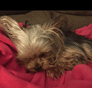 Alexander Graham Bell Yorkshire Terrier puppy