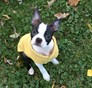 Pearl Boston Terrier puppy