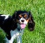 LilaLee Cavalier King Charles Spaniel puppy