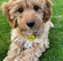 Molly (aka Jewel) Cavapoo puppy