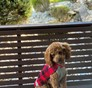 Teddy Bear (Zain) Cavapoo puppy