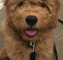 Spencer Mini Goldendoodle puppy