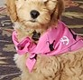 Emma (formerly Felicia) Mini Goldendoodle puppy