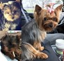 Onyx, Diamond, Trigger Yorkshire Terrier puppy