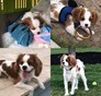 COLT Cavalier King Charles Spaniel puppy