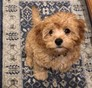 Myles formerly Stetson Cavapoo puppy