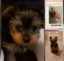 Sammi Yorkshire Terrier puppy