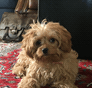 Ruby...now Pumpkin Cavapoo puppy