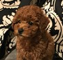 Saint Laurent (Saint) formerly Callista Cavapoo puppy