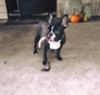 Joey French Bulldog puppy
