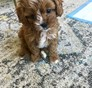 Monique Barry Cavapoo puppy