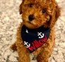 Willow previously Hazel Mini Goldendoodle puppy