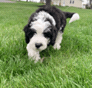 Rebel (now Winston) Mini Sheepadoodle puppy